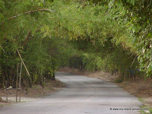 Holland Bamboo Jamaica
