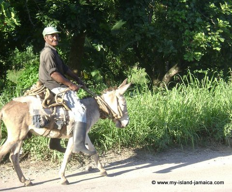 jamaican old man riding donkey
