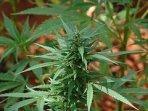 the ganja weed in jamaica