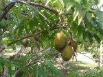 jamaican june plum