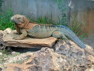 Jamaican Iguana on the rocks