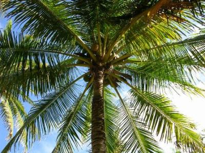 coconut tree with coconuts on it