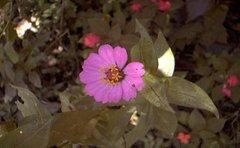 jamaican_flowers_1