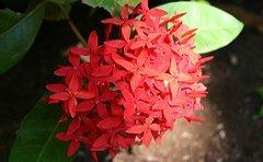jamaican_flowers_10