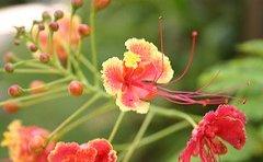 jamaican_flowers_11