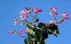 jamaican_flowers_12