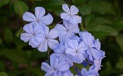 jamaican_flowers_14
