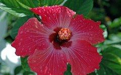 jamaican_flowers_15