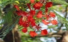 jamaican_flowers_16