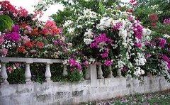jamaican_flowers_25