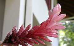 jamaican_flowers_3