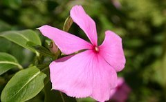 jamaican_flowers_6