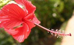 jamaican_flowers_9