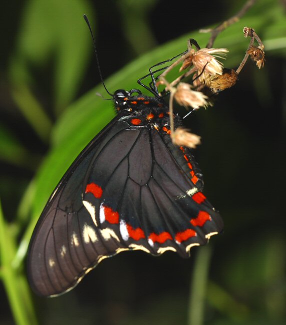 plants and animals in jamaica -jamaica_butterfly_polydamasthyamus2