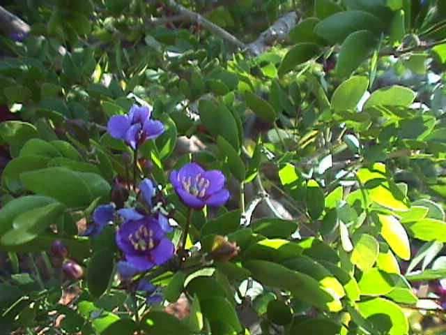Jamaica National Flower: Lignum Vitae  Flower