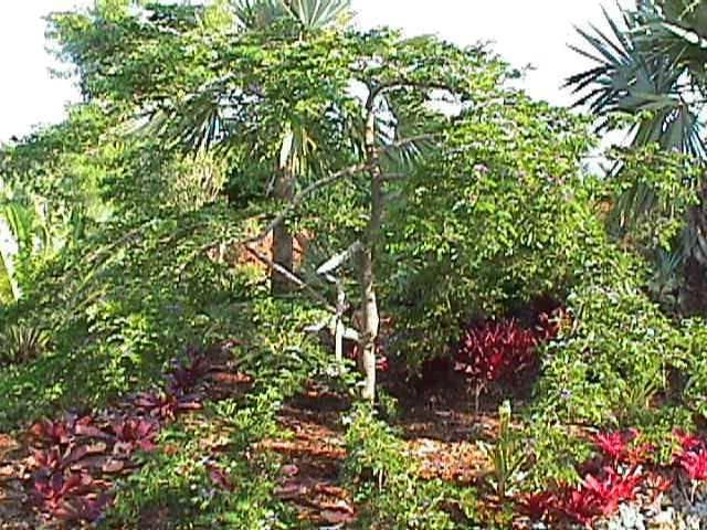 Jamaica National Flower: Lignum Vitae Tree