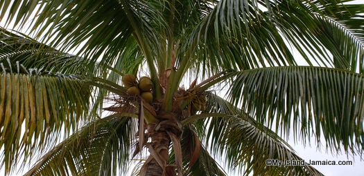 Sandals_MontegoBay_jamaica_coconut_tree