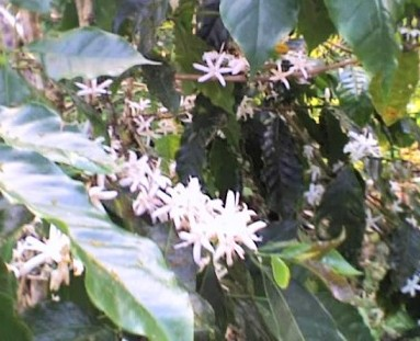 Jamaican Coffee flowers