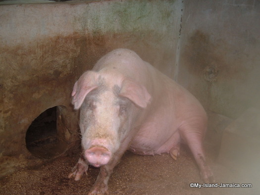animal_farm_jamaica_2007_pigs