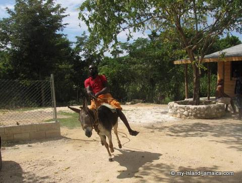 donkey racing at Blue Hole Jamaica