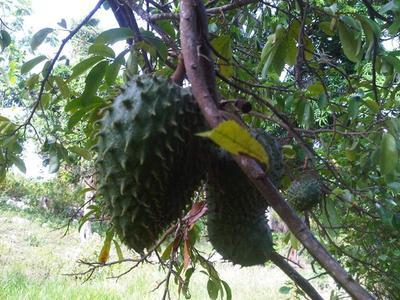 soursop leaves in Jamaica