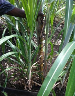 Jamaican SugarCane Plant