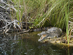 black_river_jamaica_crocodile