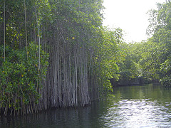 black_river_jamaica_mangroves