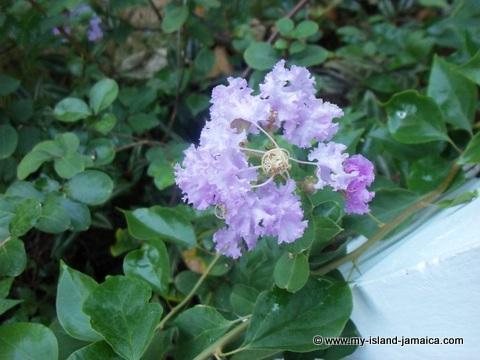 catcha falling star gardens flowers - purple