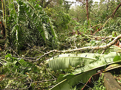 Hurricane Dean Picture fallen_banana_trees.jpg