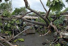 Hurricane Dean Picture fallen_trees.jpg