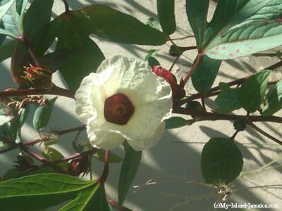 jamaican_sorrel_flower