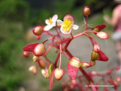 Jamaican Begonia Flowers