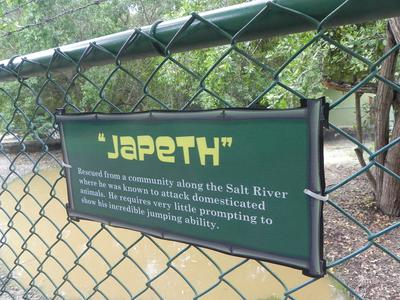 jamaica_swamp_safari_village_japeth_crocodile