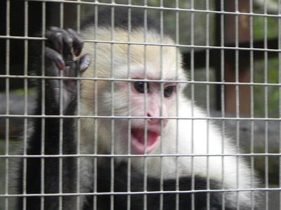 jamaica_swamp_safari_village_chimpanzee
