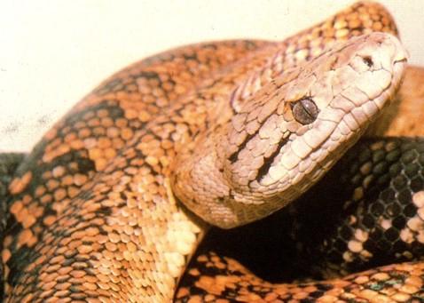 A Jamaican Snake