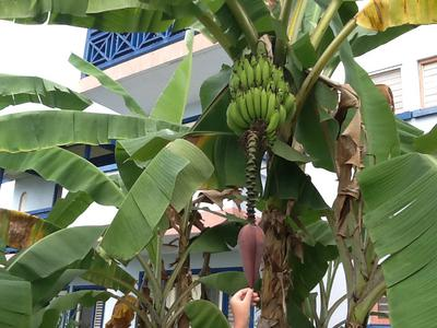 jamaican banana tree