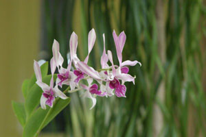 A Jamaican Orchid