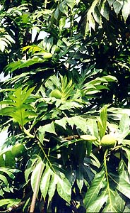 Jamaica Breadfruit Tree