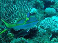 Scuba Diving in Jamaica- The Corals
