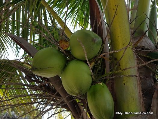jamaica_vacation_wellesley_anniversary_2018_coconut_tree