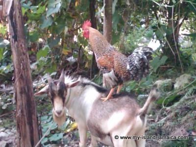 Jamaican Ram Goat & Rooster