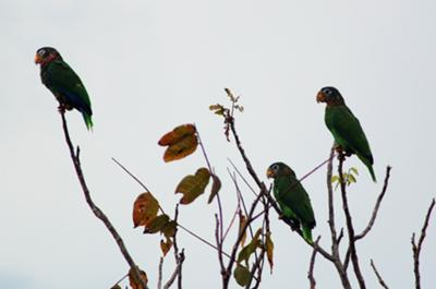 <b>Photo Contest Entry #6</b> <br>Jamaican Green Parrots