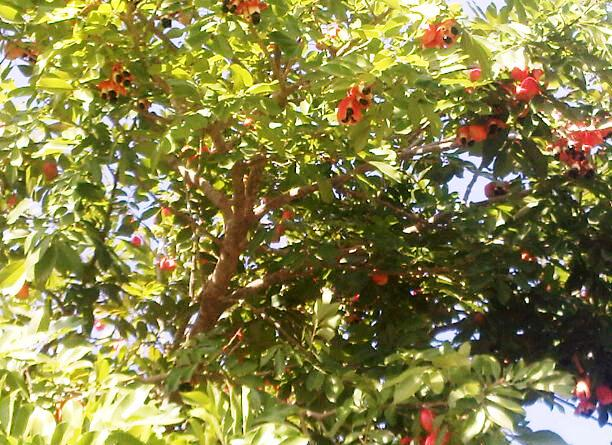 ackee tree with open pods