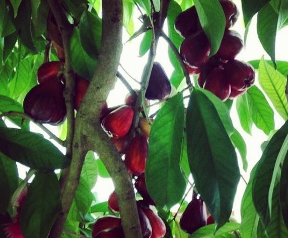 jamaican_apple_tree