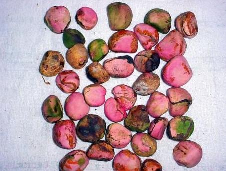 jamaican bizzy (kola nut)