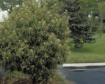 Jamaican Caper Tree