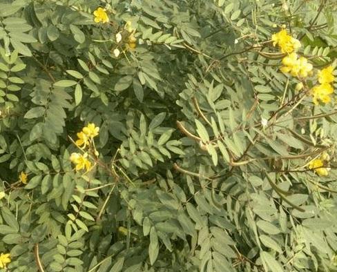 jamaican dandelion plant