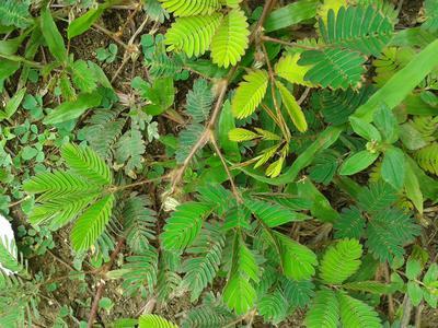 Jamaican Bush Teas - Oldie But (Still) Goodie