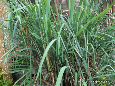 Jamaican fever grass